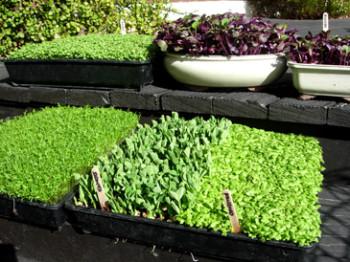 Микрозелень в чем польза